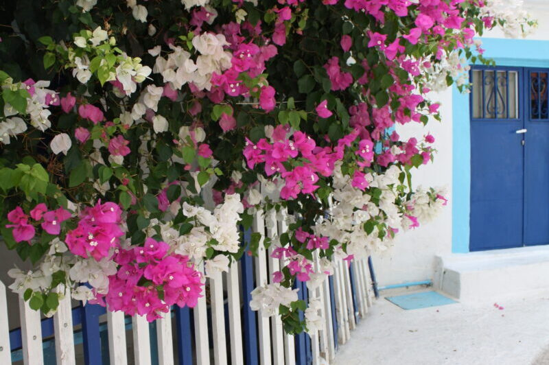 Cyclades Islands - White house with bougainville
