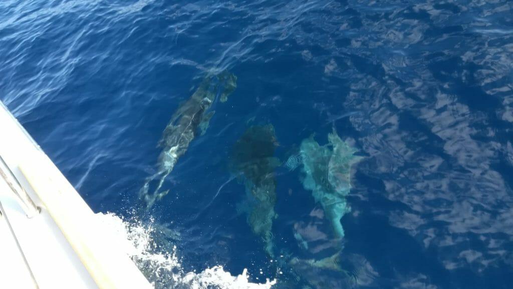 Delfini vicino all'isola di San Pietro